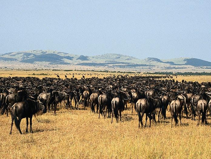 Kenya - Tanzanie - Circuit Safari Buffalo